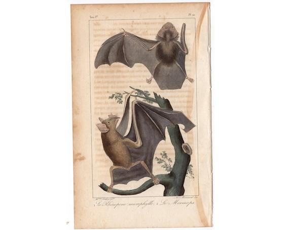 1831 BATS ENGRAVING original antique hand coloured chiroptera print - mouse tailed & mormops bats