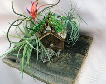 Barn wood air plant arrangement features a blooming Bulbosa