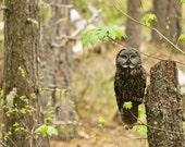 great grey owl, owl,  great grey, wildlife, majestic, forest, raptor, bird of prey, owl eyes, intense,