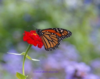Waiting, Monarch Butterflies, blank card, friendship, thinking of you, write own msg