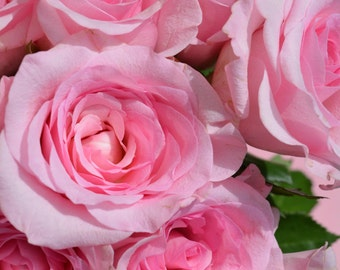 Pink Roses II Digital Print
