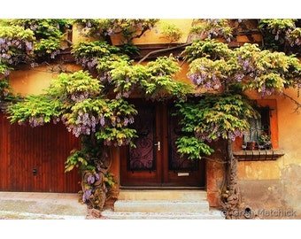 "Fine Art Color Travel Photography of Alsace France - ""Wisteria Climbing a Home in Zellenberg 2"""