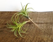 Faux air plant: Artificial tillandsia with pale green leaves, fake air plant, artificial plant, Stricta 8.5 inch long