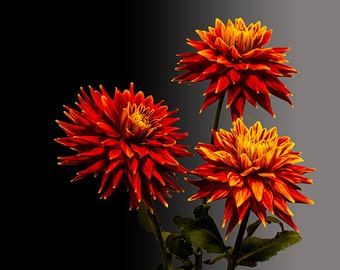 Three Bright Dahlia Flowers on a Black Gray Background No.3341 A Fine Art Abstract Botanical Photograph