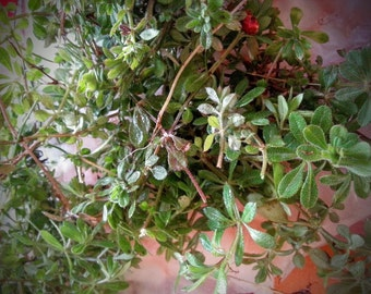 Chickweed Salve ointment