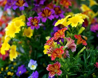 Colorful flowers with red, yellow and purple fine art photograph