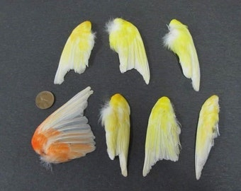 7 Single Canary Dried Bird Wings Taxidermy Shipping Included
