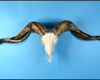 S# Real goat  Ram skull with horns for art work or display,clean, beautiful,cool gift free shipping