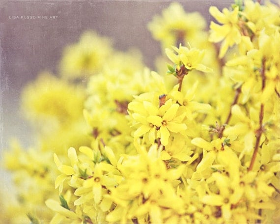 Yellow Forsythia Bush Photograph - Yellow Flower Picture - Yellow Home Decor - Spring Art Photograph - Yellow, Gold, Springtime - .