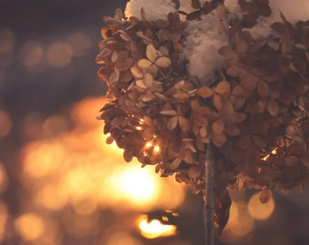 Floral Photography deep rich colors,hydrangeas,winter sunrise,hydrangeas in sunrise,snow,warm,dramatic,gorgeous print,romantic,dried flowers