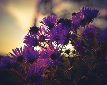 Floral Photography Purple Asters,flowers,nature photography,purple daisies in sunset,dramatic floral print,deep amethyst,stunning home decor