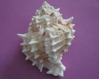 "Sea Shell Seashell Pink Murex Shell 4.5"""
