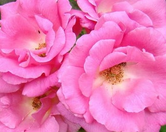 Rose plant, Rosa 'Zephirine Drouhin' Thornless Pink Rose, highly scented  Rose on own roots, flowering plant, flowering perennial plant