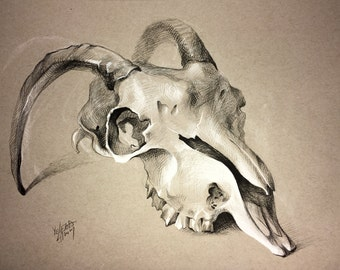 Goat Skull Drawing