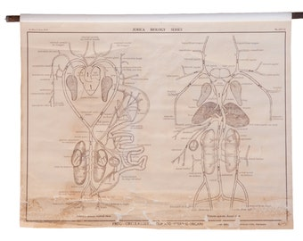 Early 20th Century Pull Down Chart of Frog Circulatory System