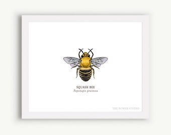 Squash Bee Print - Unmatted - 100% of Profits to Save the Bees