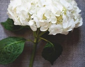 Hydrangea Print - Hydrangea Art, Flower Photography, floral decor, fine art photography, white hydrangeas, art & Collectibles, photography