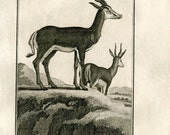 1811 Antelope Antique Print,  La Gazelle de Chevre Sautante du Cap, 200 Years Old Copper Engraving, Buffon