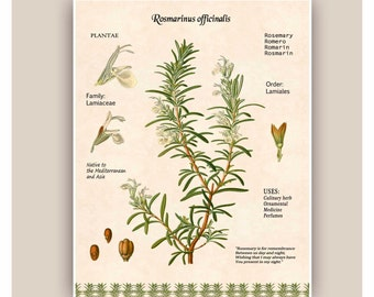 Rosemary art,Kitchen art,Cooking Herb print,Rosemary digital herbarium sheet,botanicals, educational poster, Food decor,dining room decor