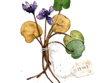 Cyclamen Specimen from the Herbarium - Open Edition Giclee Print