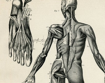 INSTANT DOWNLOAD Anatomy Human Muscles Back View Make 8x10 11x14 16x20 400 DPI Halloween Regular and Antiqued 2 Versions