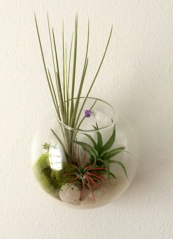 Air plant wall art hanging terrarium clear glass orb from for Air plant wall art