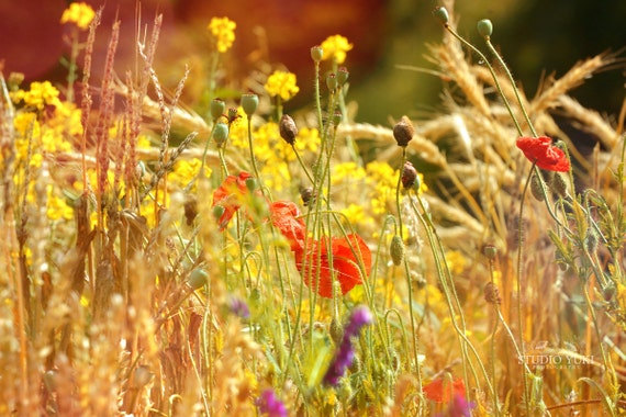 Summer Garden Photo, Poppies, Red, Yellow and Orange Flower Photography, Poppy Meadow, Sunshine, Spring, Floral, Gold, Rainbow - Wildlife