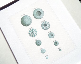 Sea Urchin Shells 2 in Soft Blues Naturalist Study Archival Print