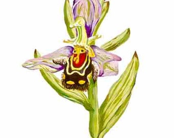Bee Orchid, Ophrys apifera, known as bee-bearing or bee-bringing, bee-shaped lip orchid