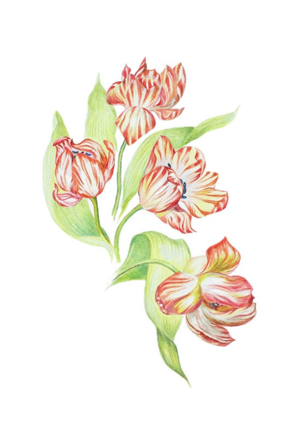 LIMITED EDITION of Dutch or Holland Tulips, Dutch National Flower, Tulip Art Print, Art Print of Pencil Drawing, Botanical Print, Flower Art
