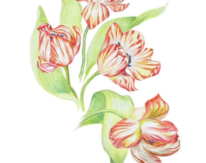 LIMITED EDITION of Dutch or Holland Tulips, Dutch National Flower, Tulip Art Print, Art Print of Pencil Drawing, Botanical Print, Flower Art