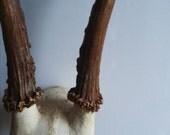 Vintage Deer Antler with Skull Taxidermy