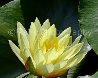 Cottage Decor Yellow Green Waterlily Nature Macro Garden, Flower Photography, Fine Art Photography matted & signed Original Photograph