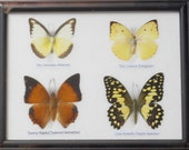 REAL 4 BUTTERFLY Wall Decor For Education Collectible Taxidermy Framed / BTF04v
