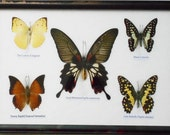 REAL 5 BEAUTIFUL  BUTTERFLY Collection Framed / b05A
