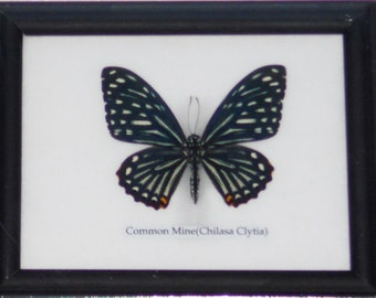 REAL SINGLE BUTTERFLY Collection Taxidermy in Frame / BTF01GG2