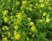 Golden Alexanders Seeds - Native Wildflower