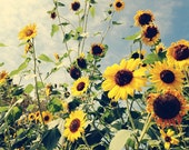 Flower Photography - sunflower art - nature photography - sunflower fields - floral - yellow - vintage style - feminine - summer - botanical