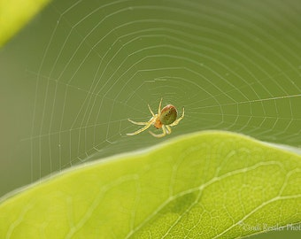 Itsy Bitsy Spider, Photography, Nature Photography, Garden, Insects