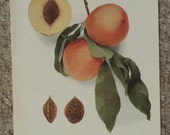 Vintage early 20th century Lithograph CHAIRS PEACHES book illustration