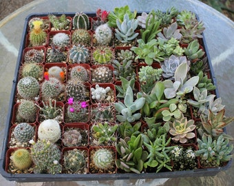 "10 Succulent & Cactus Collection in 2"" containers great for Wedding FAVORS and collectors succulents+"