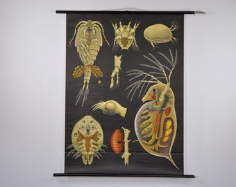 Authentic Vintage Mid Century Zoology Print. Crustaceans (Entomostraca). Pull Down Wall Map. Jung Koch Quentell. Germany. 1016