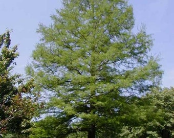 Common Bald Cypress Tree Seeds, Taxodium distichum, Northern - 25 Seeds