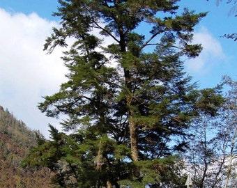 Chinese Hemlock Tree Seeds, Tsuga chinensis - 25 Seeds