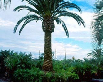 Canary Island Date Palm Tree Seeds, Phoenix canariensis - 25 Seeds
