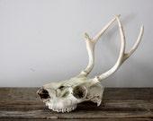 Vintage Skull and Antlers
