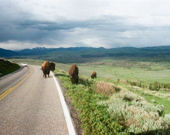 Yellowstone Bison film 8x12 print