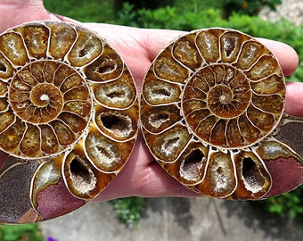 First quality Split polished Ammonite pair. Detail down to its center. No repair