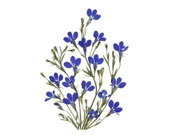 Set of 6 Pressed Flower Cards - Blue Lobelia - 6 Notecards - #037
