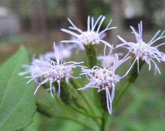 Dream Herb Seed Pods VERY RARE (Calea Zacatechichi) Fresh Harvested Heirloom Garden Flower Plant, 100+ Seeds ~ Limited Supply!!!